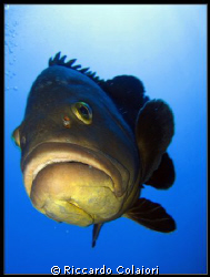 The Curious Grouper - Illes Medes - August 2008 - Canon D... by Riccardo Colaiori 